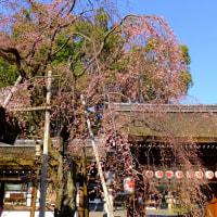 本日平野神社の魁桜開花