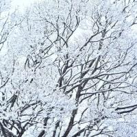 「雪の華 咲く」 いわき フラワーセンターにて撮影!