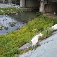 持病の通院治療。6月定例会が終わりました。大川のヤギ達。
