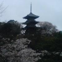三渓園の桜