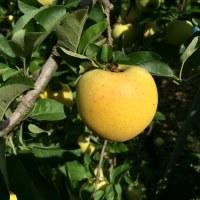 シナノゴールドの収穫
