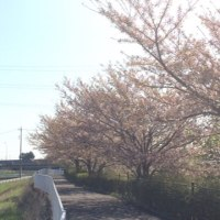 ジョギング 4/16  残桜を惜しみながら、1時間走