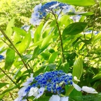 湘南平の紫陽花
