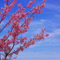 びわ湖畔の桜