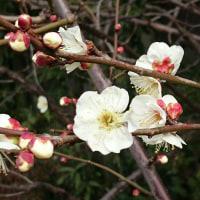 「春告げる 梅園人が チラホラと」梅川柳