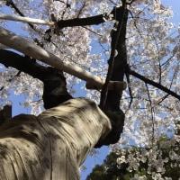 花見 四谷から千鳥ヶ淵
