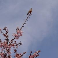 蜂須賀桜とジョビちゃん
