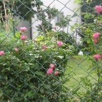 バラの花がきれいですよ~ 170521