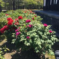 春爛漫の京都 〜 建仁寺の牡丹