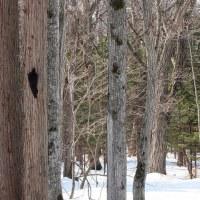 樹々を飛び交いながのクマゲラを・・