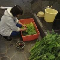 野沢菜採り