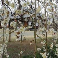 水戸・弘道館の梅