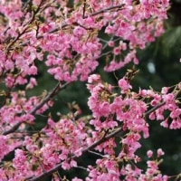 東京都千代田区の皇居東御苑では、リュウキュウカンヒザクラの木の花が満開です