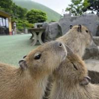 ☆虹の広場のカピバラさんたち〜伊豆シャボテン動物公園〜