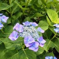 紫陽花の風景Ⅲ