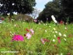 相模原公園の「コスモス」 可愛らしい花びらを広げて!!