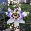 季節の花「時計草(とけいそう)」