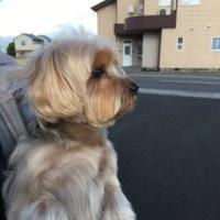 愛犬のトリミングへ。
