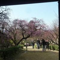 お城の枝垂れ梅です