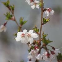 山岳点景:初夏の桜―標高1,700桜尾根