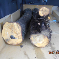 琉球黒檀の伐採2