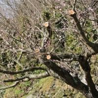 佐田岬の梅の花