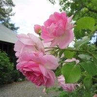 雨が少ないお陰でバラが…