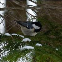 フツーに見られる小鳥