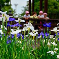 2017 雨の季節が似合うハナショウブ  《佐賀市大和町花しょうぶ園》