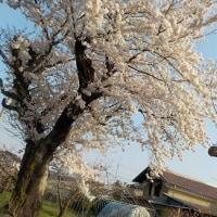 満開の桜、咲き出した桃