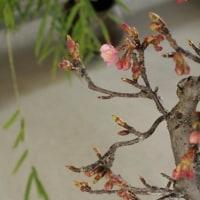 来月は桜を♪