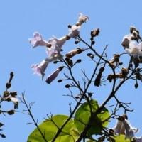 キリの枝に花がいくつも