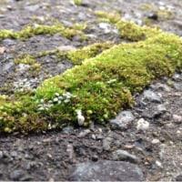 小さな苔さがし〜駐車場の緑の苔たち。
