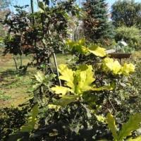 葉の色が綺麗、イギリスナラ・コンコルディアです