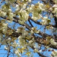 ショウガ 色の 鬱 金 桜 ……