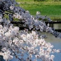みどり湖の桜 ( 山梨県北杜市 2017.4.23 )