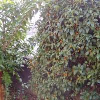 キンモクセイが咲きました