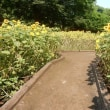 夏の花は向日葵です!!!