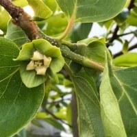 今日のわが家の果樹たち