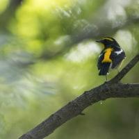 キビタキ 鳥友が教えてくれました。5日ほど遅れていきましたがまだいてくれました。