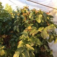 冬でもたくましく成長する無農薬グァバたち(*^ω^*)