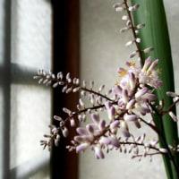 咲の部屋・・・「幸福の木ドラセナ」