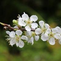 スモモの花 桜の花の盛りが、そろそろ終わる頃