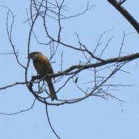多摩湖、狭山湖鳥撮り散歩。セイタカシギにご対面。
