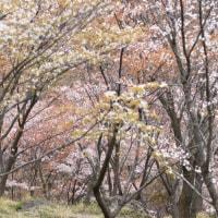 くじゅう高原_春の山野草 ~ 2017年4月 今年は開花が遅れていました。