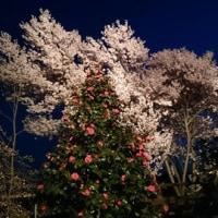 今宵は夜桜~