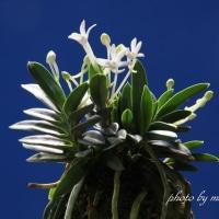 フウラン 山採り豆葉の花