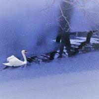 ●奥卯辰山健民公園の白鳥 薄氷の中を行く