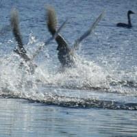 川島の白鳥(14日の朝・後編)