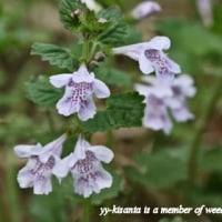 シソ科のお花が大賑わい